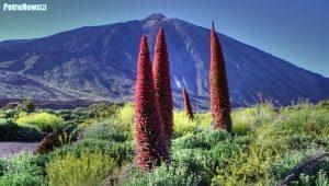 Żmijowiec – charakterystyczna bylina, występująca na szczycie wulkanicznym Teide na Teneryfie – Wyspy Kanaryjskie. Fot. Wikipedia