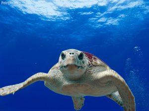 Żółw Caretta