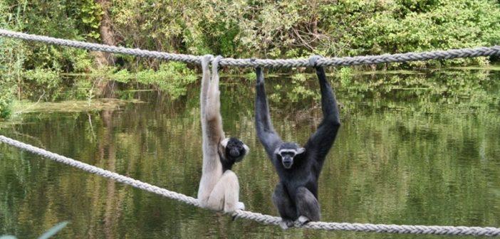 Zoobacz w Płocku: Gibbony