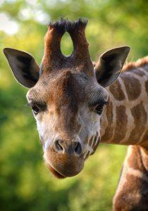 Żyrafa, fot. Ewa Ablewska