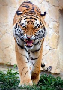 Tygrys, fot. Ewa Ablewska